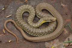 Eastern Yellow-bellied Racer (J T Williams) Tags: texas snake racer coluber constrictor flaviventris