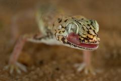 Gulf Sand Gecko () Tags: life wild macro birds canon lens sand gulf super olympus images bin getty gecko sultan 12 60mm qatar landscap  stenodactylus potographers      superlens  potographer   khobarensis   qatarbirds binsultan lesnafi  olympusem1 macro60mmolympuslens