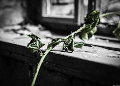 Leben in der Ruine (Alexander Rudolphi) Tags: pflanzen ruine sw motive orte landschaft arbeit industrie jahr kamera chemnitz 2015 objektiv marode 24105mm zustand eos6d bildstil