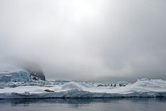 While the Leopard Seal Sleeps, Penguins Gather on Opposing Side (jpmckenna - Denali Bound) Tags: snow ice antarctica hopebay animalscape zodiaccruising