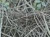 Yellow-crowned Night-Heron nest from last year 20150323 (Kenneth Cole Schneider) Tags: florida miramar westbrowardwca