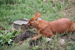 2014-08-17 (196) (CookiiEwe) Tags: park dog animals fur sweden wildlife relaxing hund sverige paws vilar djur kolmrden djurpark dhole pls tassar