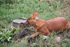 2014-08-17 (196) (CookiiEwe) Tags: park dog animals fur sweden wildlife relaxing hund sverige paws vilar djur kolmården djurpark dhole päls tassar