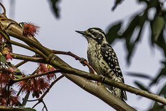 Nuttall's Woodpecker - Female (Bob Gunderson) Tags: california birds northerncalifornia eastbay woodpeckers alamedacounty nuttallswoodpecker picoidesnuttallii canoneos7dmarkii stiverslagoonnaturearea