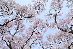 look up! (cate) Tags: sky up look bluesky sakura cherryblossoms