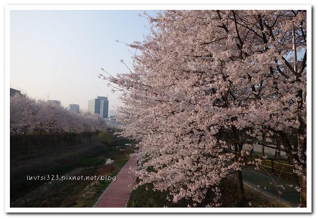 양재천벚꽃12