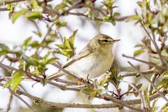 Fitis-8649 (Djien) Tags: vogels oostvaarderplassen