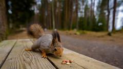 ATA_3121-Edit (Photographer Atacan Ergin) Tags: squirrel tampere kurre