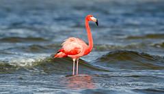 American Flamingo (Andrew's Wildlife) Tags: flamingo american