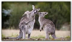 Mother and child (tassie303) Tags: joey kangaroo roo tidbinbilla ef100400mmf4556lisiiusm