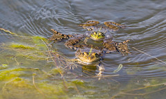 2016-05-06 - 15.27.32 - _L5B2067 - 1 (Rossell' Art) Tags: pad frog toad sapo rana frosch grenouille kikker rano bufo r krte crapaud  rospo doodebemde batracien