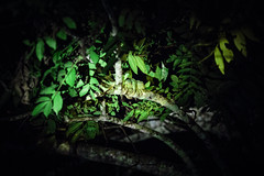 Nam_Et-Phou_Louey_National_Protected_Area_Nam_Nern_Night_Safari_WIldlife_Spotting_Iguana_Tiger_Trail_Photo_By_Cyril_Eberle_CEB_9915 (Tiger Trail Laos) Tags: tourism fauna trekking nationalpark wildlife tiger conservation jungle species birdwatching rare forests biodiversity ecotourism saltlick nightsafari wcs wildlifeconservationsociety protectedarea namet nepl wildlifeprotection viengthong phoulouey nametphoulouey biodiversityconservationarea muanghiem meaunghiem
