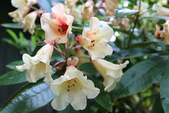 IMG_3059.JPG (robert.messinger) Tags: flowers rhodies