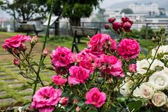 Red rose (kmmanaka) Tags: japan nagasaki cruiseship fog rain harbor internationalterminal rose