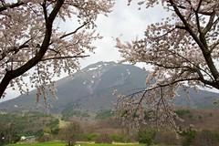 Bandai mt. (tez-guitar) Tags: mountain flower cherry spring pentax blossoms petal bloom cherryblossom pentaxart