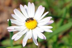 (***toile filante***) Tags: light sunlight flower nature licht spring natur daisy feeling emotions sonne soulful frhling gnseblmchen emotionen gefhl sonnenlicht