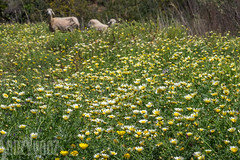 Sheep in the Daisies (Sue_Hutton) Tags: daisies rural spring sheep morocco maroc wildflowers tangier tanger