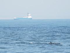 Elusive dolphins (1M107974 E-M1 210mm iso200 f4 1_1000s) (Mel Stephens) Tags: uk animals coast scotland boat dolphin wildlife transport olympus coastal aberdeen dolphins pro gps torry omd em1 2016 m43 q2 40150mm mirrorless microfourthirds mc14 mzuiko 201605 20160510