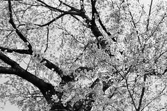 201604-04 (GenJapan1986) Tags: blackandwhite film japan spring university   cherryblossoms  miyagi  tohokuuniversity  ilfordhp5plus 2016      nikonnewfm2