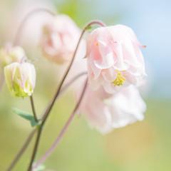 Froufrou froufrou! (S@ndrine Nel) Tags: fleur closeup flora soft dof blossom pastel softness bloom sweetness pasteltones ancolie softcolors rustle softcolor nelsandrine