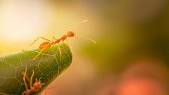 Ant-man (kevinkishore) Tags: life light india color macro green field animal insect leaf bokeh ant insects depthoffield chennai depth