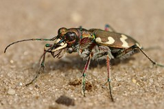 Bastaardzandloopkever (andabata) Tags: bastaaardzandloopkever zandloopkever tigerbeetle beetle kever tor zand sand bronze brons northern dune tiger cicindela hybrida