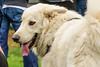 16-05-15_untitled_211 (Daniel.Lange) Tags: dog philadelphia dogs dogdayafternoon spado columbussquarepark