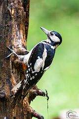 Grote Bonte Specht (Jansen, Robert) Tags: woodpecker nikon great natuur workshop spotted specht d800 bonte hogeveluwe 2016 70200mmf28 17teleconverter