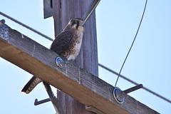 Brown Falcon (Luke6876) Tags: bird animal wildlife raptor falcon powerline birdofprey australianwildlife brownfalcon
