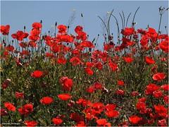 Amapolas (Manuel Moraga) Tags: madrid espaa naturaleza flores plantas flor campo amapolas manuelmoraga