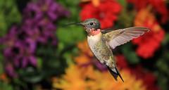 (DeadDogsEye) Tags: red hummingbird hummingbirds rubythroated deaddogseye plymouth400 plymouthmassachusetts400