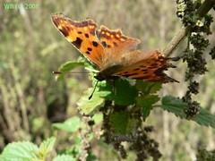 P1110560 wb (bwagnerfoto) Tags: macro animal fauna butterfly insect llat comma schmetterling polygonia rovar pillang calbum lepke cfalter tagfalter edelfalter cbets
