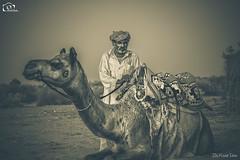 The Camel Man (Kashi Klicks) Tags: travel pakistan sunset blackandwhite art monochrome sepia evening nikon desert artistic outdoor streetphotography camel dust kashi sindh kk thar aesthetic klicks truban mammal animal kklicks kashiklicks camelman