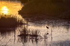 Stilts strolling in the lagoon at sunset @ Alyki (bampgs) Tags: sunset nature birds outdoors lagoon stilts aigio