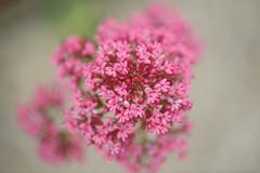 mistico rosa (maura.chiaberto) Tags: colore rosa mistico