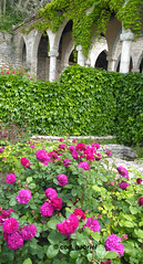 Peony flowers in Balchik botanical garden, Bulgaria (cod_gabriel) Tags: bulgaria balchik balcic dobrogea dobruja dobrudja cadrilater botanicalgarden grdinbotanic gradinabotanica salvarepozeteliulie2016 peony bujor bujori flowers flori ieder ivy