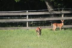 IMG_9077 (thinktank8326) Tags: nature wildlife deer spots fawn whitetaileddeer babyanimal
