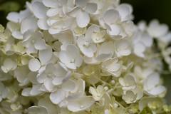 Hydrangea paniculata Minazuki (Jim Mayes) Tags: canon eos digital 90mm macro tamron tamronspaf90mmf28dimacro