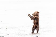 On the beach (Nedko Nedkov) Tags: alaska america bear grizzly june lakeclark spring usa wildlife