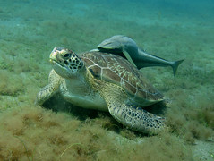 IMG_3736 (adrienweckel) Tags: adrienweckel cheloniamydas echeneisnaucrates poissons rémoracommun rémorarayé tortueverte
