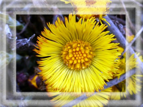 ~~ A new wild flowers in the City - Huflattich(Tussilago farfara)