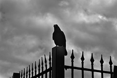 Crow (Bradley K.e Wilkinson) Tags: blackandwhite dark intense gothic dramatic crow