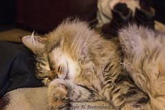 Sleeping Ball of Fluff (fishmonger45) Tags: cats greatphotographers