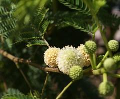 Puffy Flowerheads