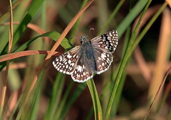 Common checkered skipper (TJ Gehling) Tags: butterfly insect skipper lepidoptera albanyhill albanyca pyrguscommunis commoncheckeredskipper pyrgus checkeredskipper