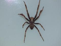 Araneidae>Eriophora biapicata Garden Orb spider DSCF8480 (Bill & Mark Bell) Tags: exmouth westernaustralia australia geo:town=exmouth geo:state=westernaustralia geo:country=australia geo:lon=11425453egeolat2217752sgeoalt8m 11425453e2217752salt8m taxonomy:kingdom=animalia animalia taxonomy:phylum=arthropoda arthropoda taxonomy:class=arachnida arachnida taxonomy:order=araneae araneae taxonomy:family=araneidae araneidae taxonomy:genus=eriophora eriophora biapicata taxonomybinomialnameeriophorabiapicata eriophorabiapicata taxonomycommonnamegardenorbweaverspider gardenorbweaverspider spider