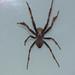 Araneidae>Eriophora biapicata Garden Orb spider DSCF8480