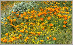 California's Gold (tdlucas5000) Tags: lake diamond valley poppies wildflowers hdr californiapoppy goldfields californiasgold dedicatedtohuell