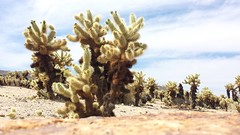 King cactus (Anika Malone) Tags: spring desert joshuatree jtnp1503