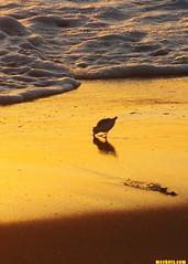 4-4-15 (mcshots) Tags: ocean california sunset sea usa sun nature water birds animals reflections evening coast shadows wildlife stock shoreline socal mcshots springtime seabirds shorebirds losangelescounty